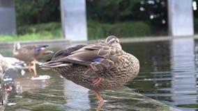 Um pato que toma um resto que está em um pé vídeos de arquivo