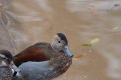 Um pato rodeado da cerceta que senta-se no banco Foto de Stock Royalty Free