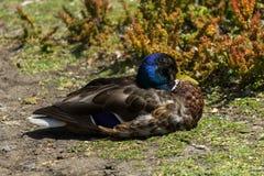 Um pato selvagem azul-dirigido (platyrhynchos dos Anas) Fotografia de Stock