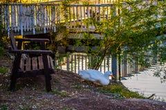 Um pato selvagem branco está olhando o cenário bonito de Yuma, o Arizona fotos de stock royalty free