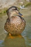 Um pato selvagem está na água Imagens de Stock