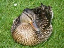 Um pato selvagem fêmea de Brown Fotografia de Stock