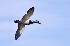 Um pato selvagem masculino em voo Imagem de Stock Royalty Free