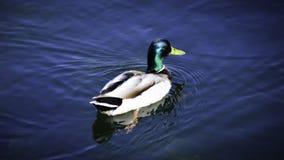 Um pato selvagem nada em um lago imagem de stock