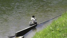 Um pato selvagem senta em um início de uma sessão um parque imagem de stock