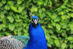 Um pavão Foto de Stock