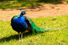 Um pavão colorido Fotografia de Stock