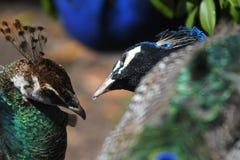 Um pavão e uma pavoa que olham lovingly em um outro fotografia de stock
