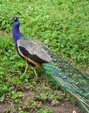Um pavão na grama fotografia de stock royalty free