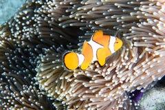Um peixe alaranjado e branco popular do aquário conhecido como o palhaço Anemonefish Fotografia de Stock