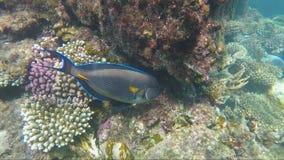 Um peixe bonito do cirurgião no Mar Vermelho filme