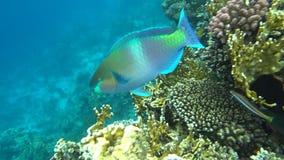 Um peixe brilhante do papagaio navega entre os corais do Mar Vermelho video estoque