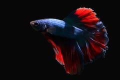 Um peixe cortante azul com uma cauda vermelha bonita Imagens de Stock
