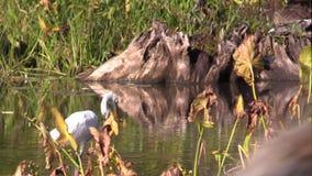 Um peixe da caça do Egret filme