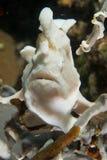Um peixe da rã do rosa do bwhite que olha o na ilha Filipinas do pescador Imagens de Stock