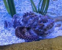 Um peixe da rocha que mistura-se na areia fotografia de stock