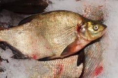 Um peixe de água fresca fotos de stock royalty free