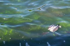 Um peixe do oceano que tenta comer um pássaro inoperante da gaivota que que flutua na superfície da água do oceano fotografia de stock royalty free