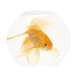 Um peixe dourado no aquário Fotografia de Stock