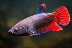 Um peixe fêmea comum do betta fotografia de stock