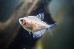 Um peixe na água suja do aquário fotos de stock