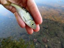 Um peixe pequeno com escalas prateadas encontra-se na palma de sua mão imagem de stock royalty free