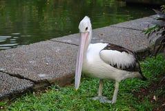 Um pelicano fotos de stock