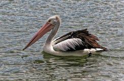 Um pelicano australiano branco que vagueia em um lago Mandurah recolhido, Austrália imagem de stock