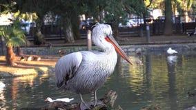 Um pelicano bonito está no fundo de uma via navegável video estoque
