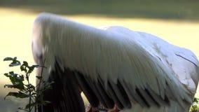Um pelicano branco olha ao redor e espalha suas asas longas em um jardim zoológico filme