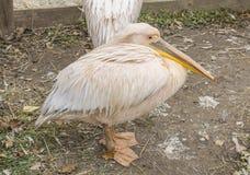 Um pelicano branco oriental está sentando-se fotografia de stock