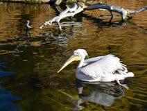 um pelicano branco que nada na água de uma lagoa O pelicano está nadando movendo seus pés e criando ondas bastante na água imagem de stock