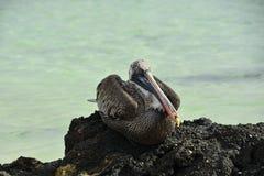 Um pelicano dorme em uma rocha vulcânica imagem de stock