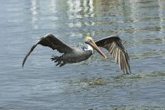 Um pelicano marrom em voo em vê no coral do cabo Foto de Stock Royalty Free