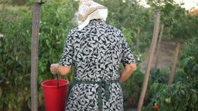 Um pensionista idoso rasga os tomates em seu jardim e põe-nos em uma grande cubeta vermelha Trabalho pesado, cultivo orgânico vídeos de arquivo