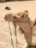 Um perfil de um grande camelo majestoso forte bege com um focinho, a cara de um animal treinado exótico com um freio claro em sua Imagem de Stock