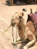 Um perfil de um grande camelo orgulhoso forte bege com uma corcunda com um focinho, uma cara que coma uma planta, palha, alimento Foto de Stock Royalty Free