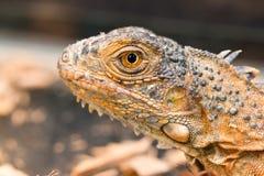 Um perfil de uma iguana marrom Fotografia de Stock Royalty Free