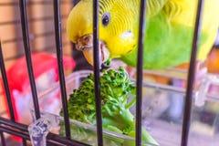 Um periquito australiano do periquito que come alguns brócolis em sua gaiola imagem de stock royalty free