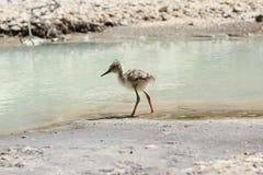 Um pernas de pau pied juvenil pela borda do ` s da água imagens de stock royalty free