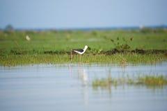 Um pernas de pau preto-voado beleza que anda no lago fotos de stock royalty free