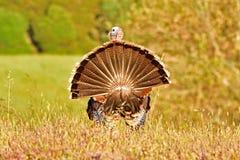 Um peru selvagem Fotografia de Stock