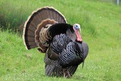 Um peru selvagem, macho Fotografia de Stock Royalty Free