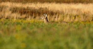 Um pescoço da cabeça do perfil dos cervos de Whitetail Imagens de Stock