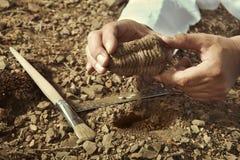 Um pesquisador mais idoso pegara o fóssil do trilobite no lugar rochoso Foto de Stock Royalty Free