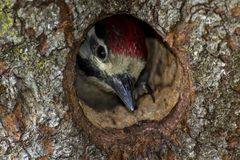 Um pica-pau do bebê dentro do ninho do furo da árvore fotografia de stock