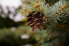 Um pinecone Fotografia de Stock