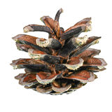 Um pinecone Fotografia de Stock Royalty Free