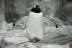 Um pinguim apenas est? estando em uma rocha Um pinguim secund?rio-ant?rtico bonito grosso est? de espalhamento suas asas da aleta fotos de stock