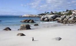 Um pinguim de Jackass que anda na praia Fotografia de Stock Royalty Free